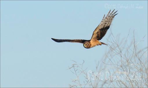 Northern Harrior on the Hunt