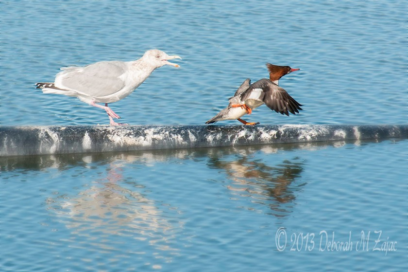 I'm King of this Pipe Merganser...Beat it!