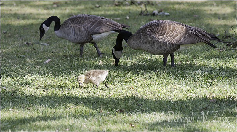 Canadian Geese and Gosling