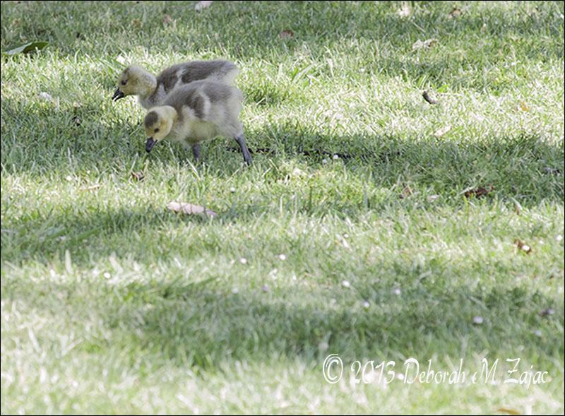 Canadian Geese Goslings