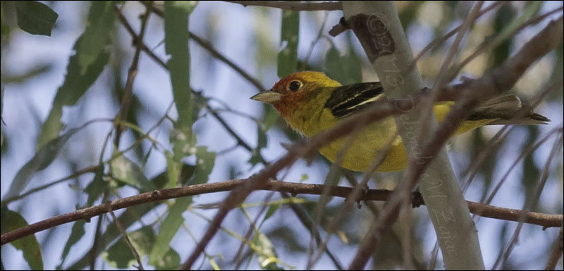 Western Tanager-Male