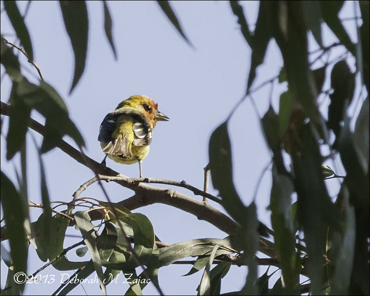 Western Tanager-Male profile