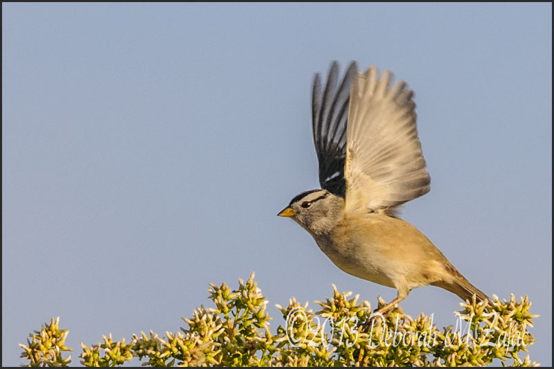 White Crowned Sparrow taking off