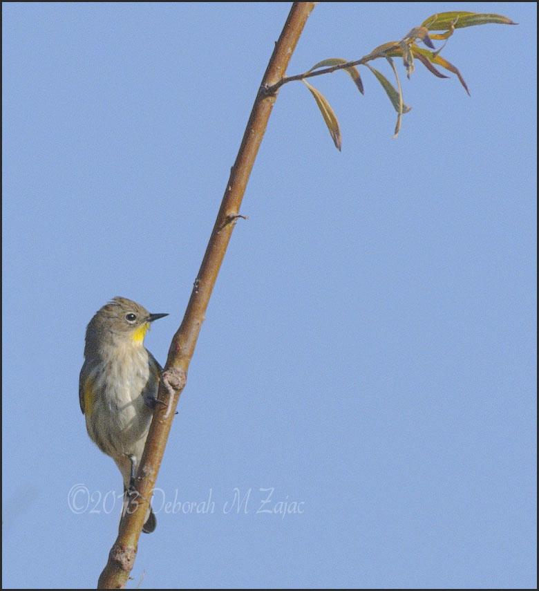 Yellow Throat Warbler