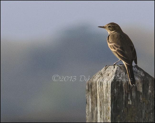 Willow Flycatcher- I think