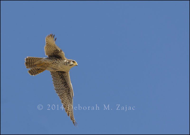 Prairie Falcon In Flight