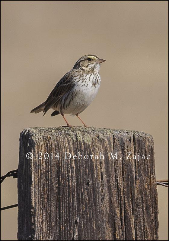 Savannah Sparrow Close Up
