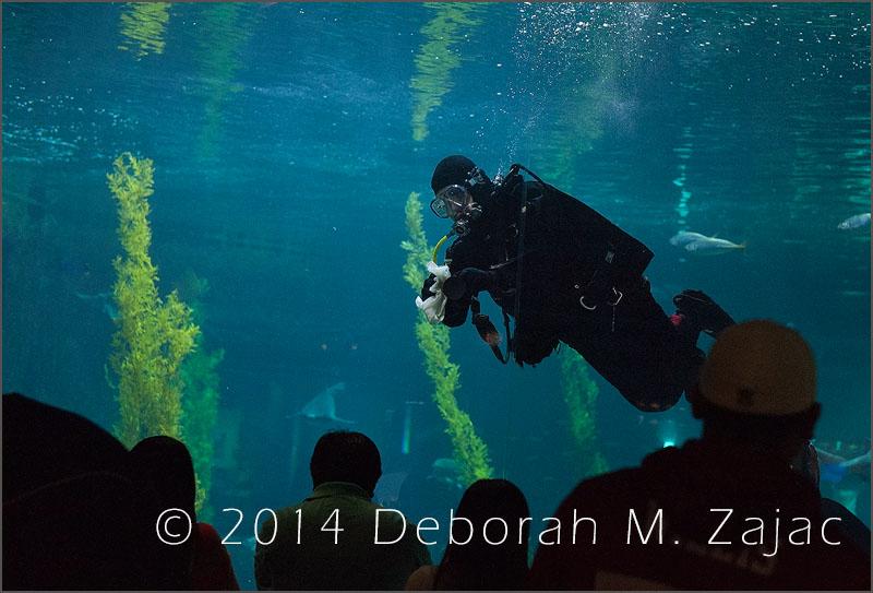 Male Scuba Diver Monterey Bay Aquarium