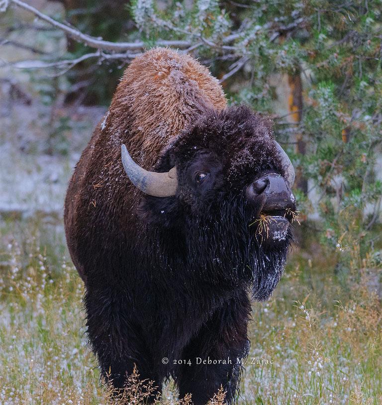 American Buffalo Yellowstone National Park