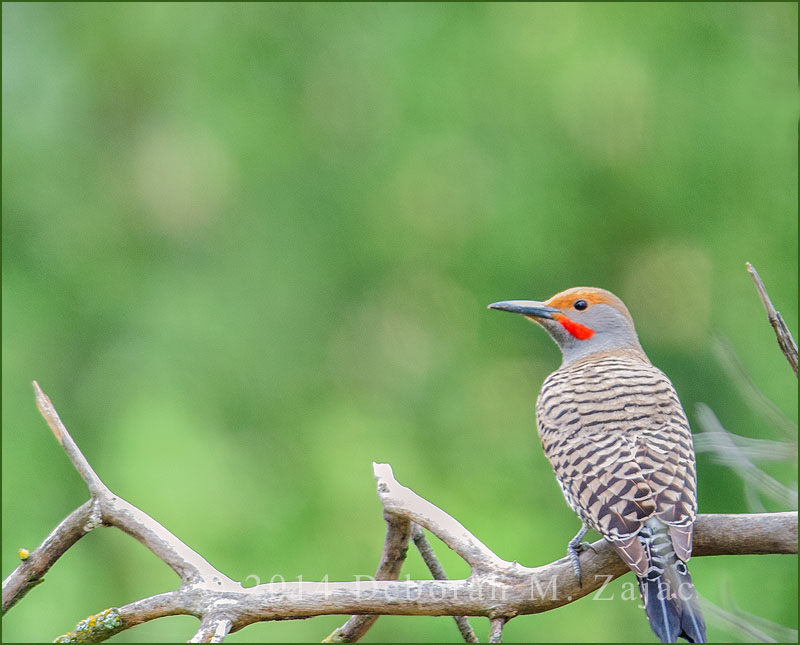 Northern Flicker-Male