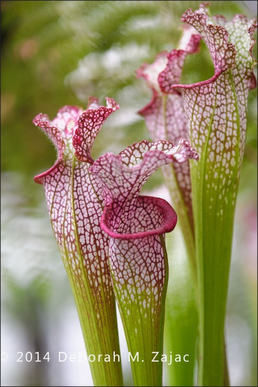 P52 15 of 52  Carnivorus Pitcher Plant