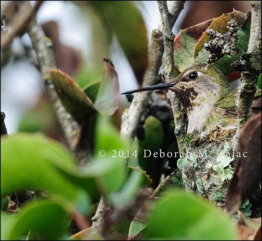 Anna's Hummingbird in her Nest