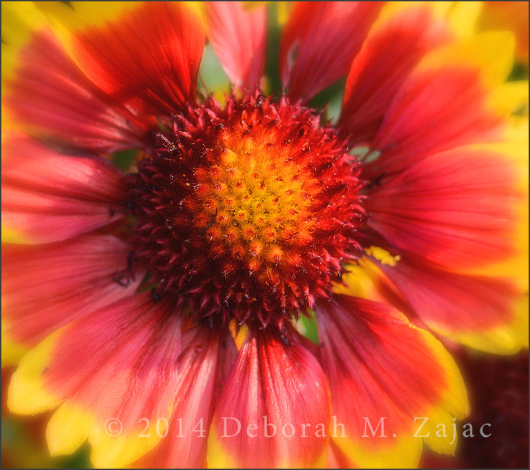 Gaillardia-Arizona Sun