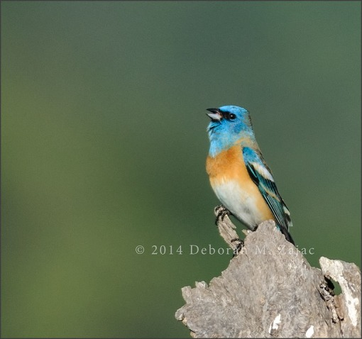 P52 18 of 52 Lazuli Bunting-1st yr Male