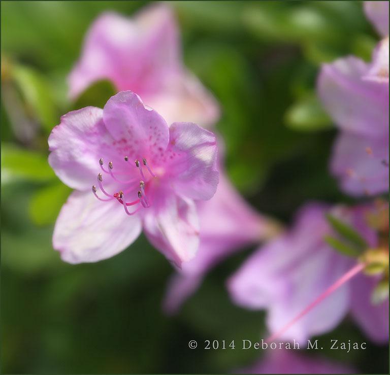 Rhodedendron Pink
