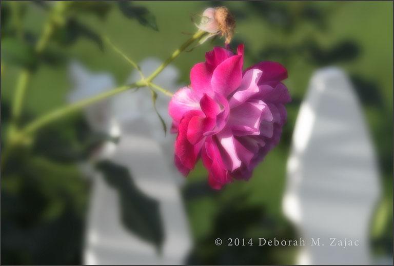 Rose Pink Variegated
