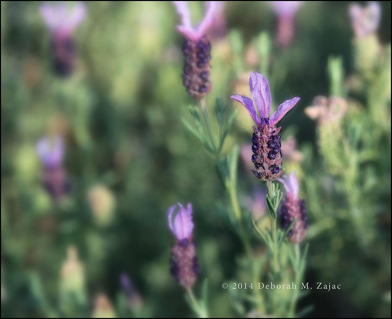 Spanish Lavender