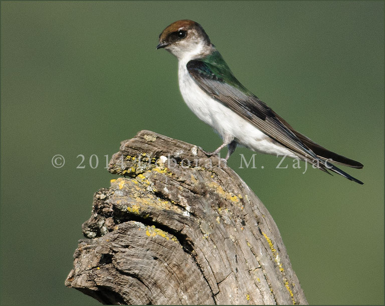 Violet-green Swallow-Female