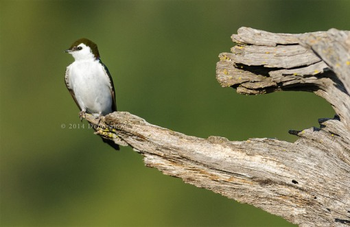 Violet-green Swallow-Male