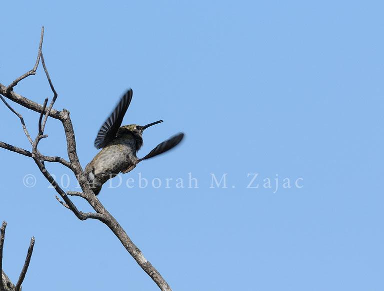 Hummingbird Wings Up
