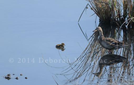 Mallard Female and Chick