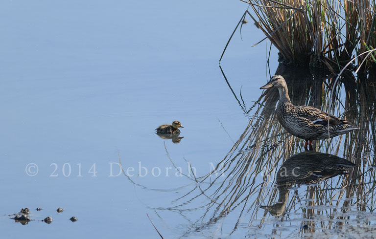 Mallard Female and Chick
