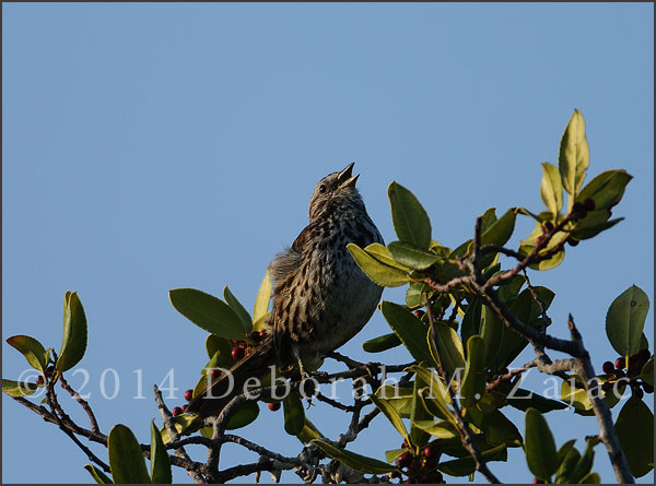Song Sparrow Singing its Morning Song