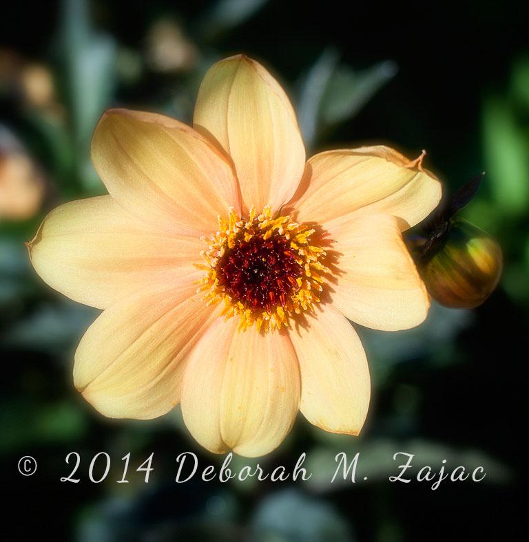 Single-Flower Dahlia (yellow)