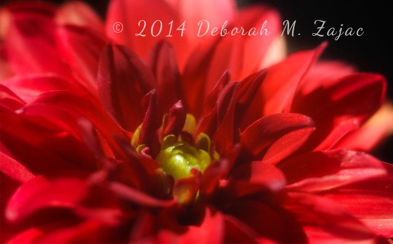 Single-flower Dahlia