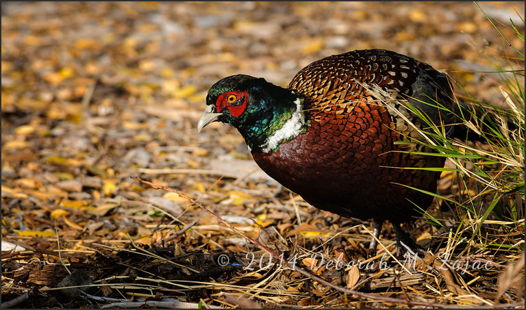 Ring-necked Pheasant Male