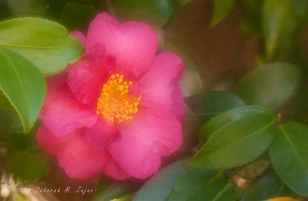 P52 39/52 First Fall Camellia Blossom