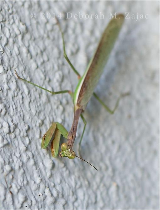 P52 40/52 Praying Mantis