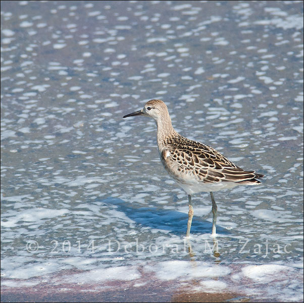 Ruff Winter Plumage