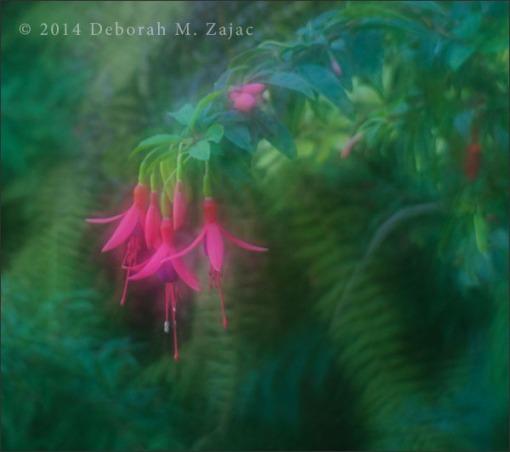 Fuschia Blossoms
