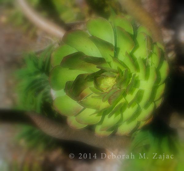 Succulent Rosette