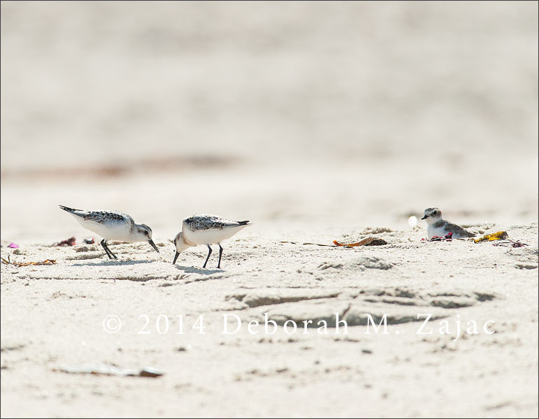 Two Sanderlings and a Snowy Plover