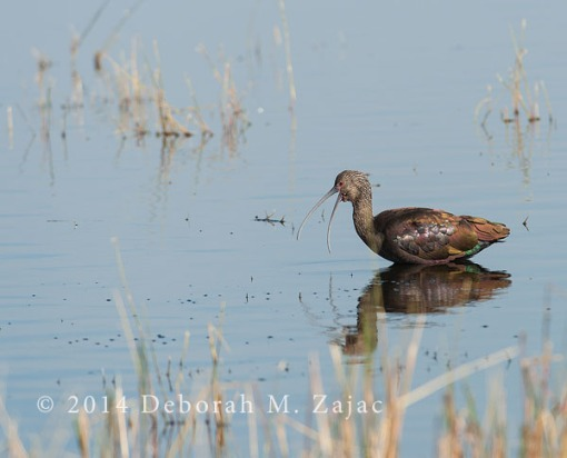 White-faced Ibis: Adult Winter