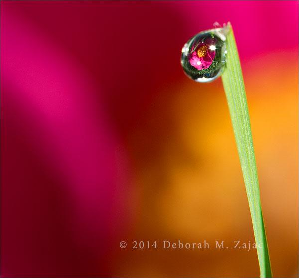 P52 45 of 52 Camellia Dew Drops