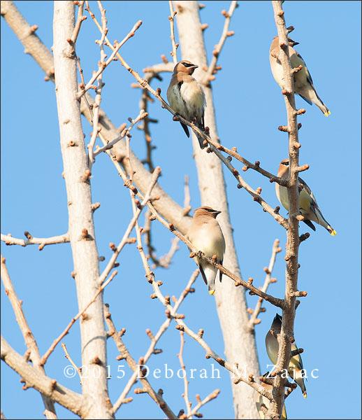 5 Cedar Waxwings
