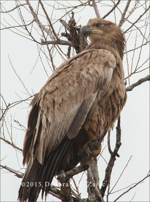 Bald Eagle-Juvenile