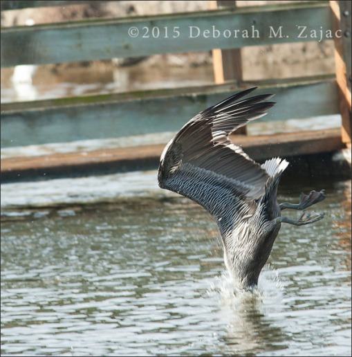 Brown Pelican Diving for Fish