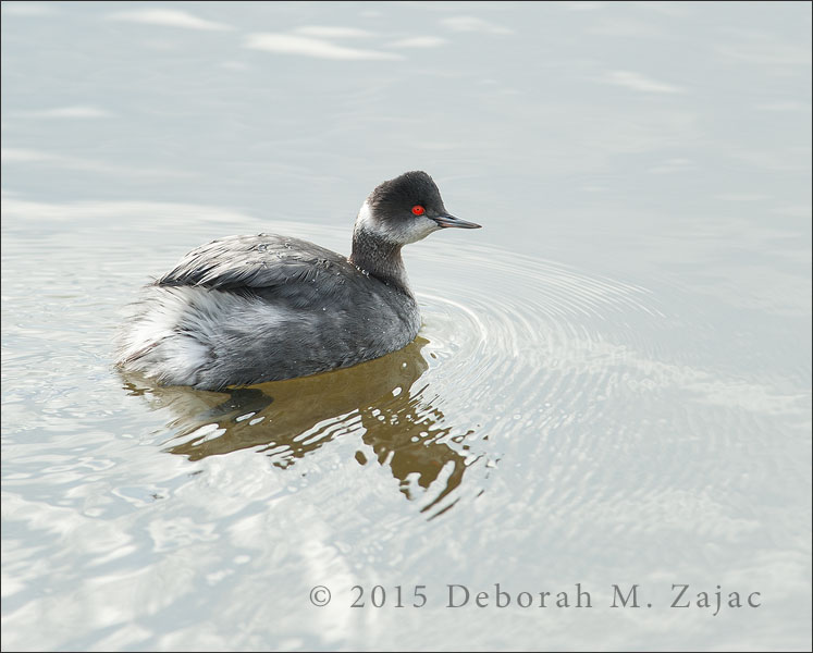 Eared Grebe Adult Winter