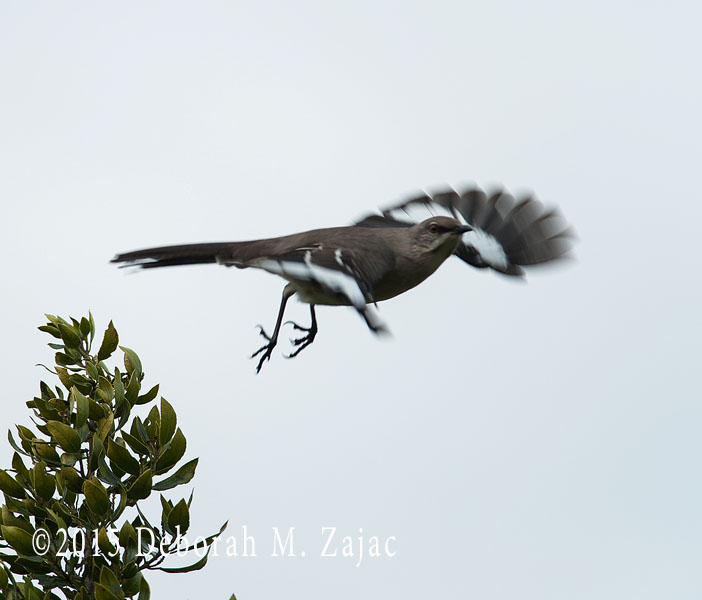 Mockingbird just after take off