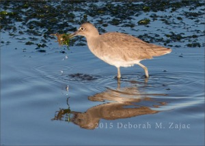 Willet with Crab -Winter
