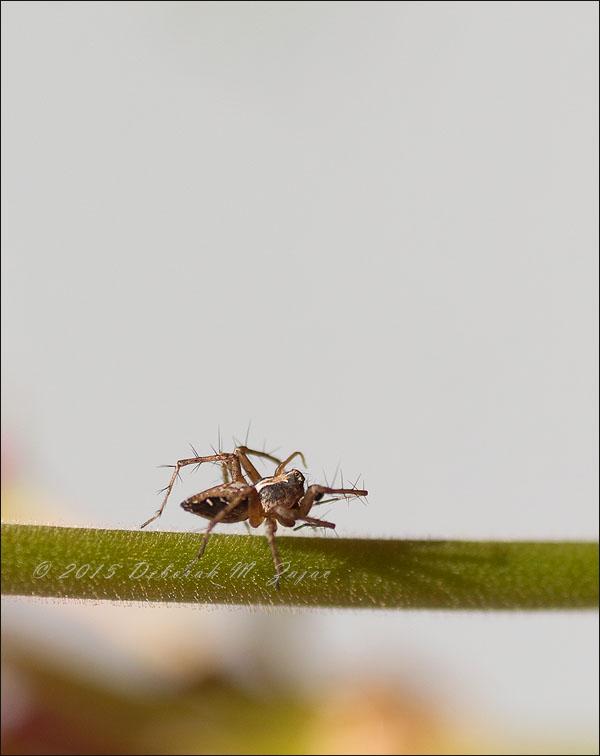 P52 13 of 52 Grass Spider