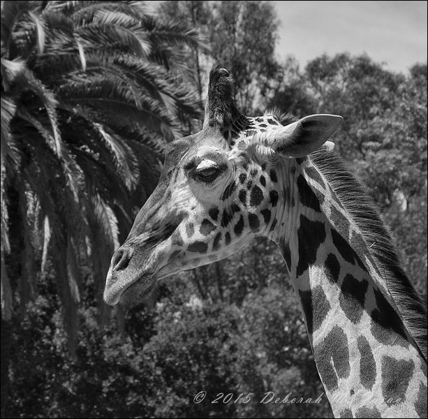 MM2:8 Reticulated Giraffe