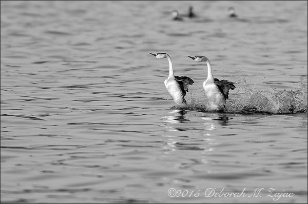 Monochrome Madness 2/12-Clark's Grebes Courtship Dance