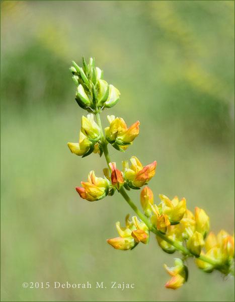 P52 18 of 52- Yellow Lupine