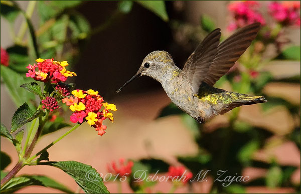 P52 22 of 52  Anna's Hummingbird- Female