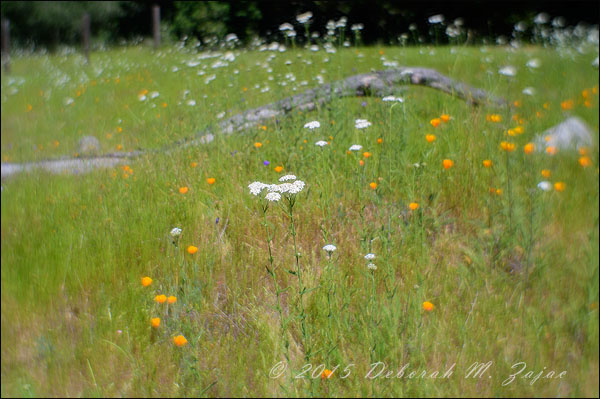 Yarrow in the Meadow